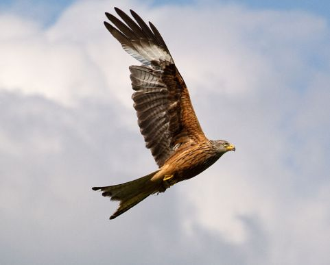 745px-Red_Kite_10_(5939894814).jpg